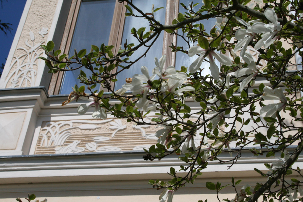 Magnolie - Villa Dorothea - Heringsdorf - Insel Usedom